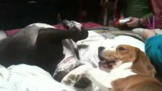 Beagle Vs Staffie-pit Cross