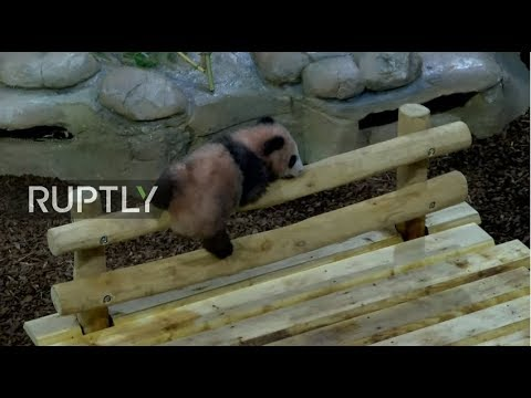 LIVE: Watch pandas live from Beauval Zoo