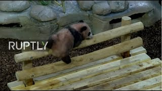 LIVE: Watch pandas live from Beauval Zoo thumbnail