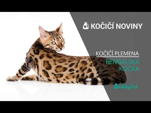 Plemena koček: BENGÁLSKÁ KOČKA (reportáž)