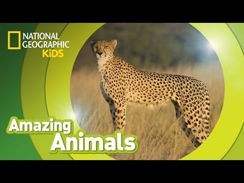 Cheetah  Amazing Animals