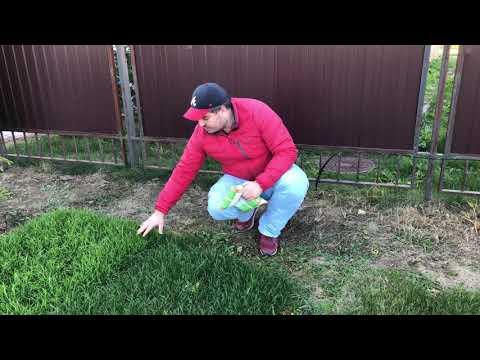 Мятлик 100% для сеяного газона? Никогда! Смотри тут почему!