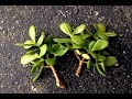 How To Plant Jade Cuttings? || Grow Or Propagate Jade Plants From Cuttings