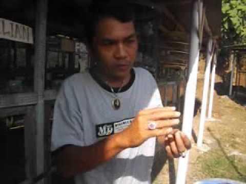 Cara memasang ring di kaki piyik perkutut yang  baru saja netas