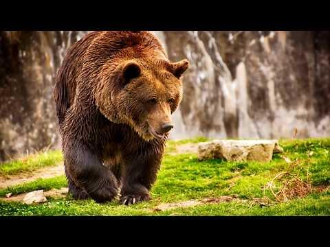 Вопрос: Почему бурого медведя называют бурым?
