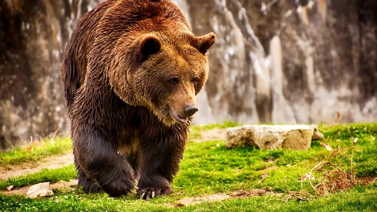 Интересные факты Медведь Youtube