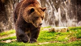 видео Бурый медведь | Для Веб мастера