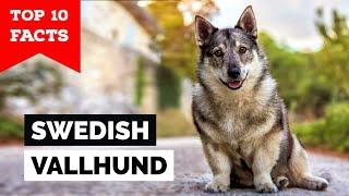 Swedish Vallhund  Top 10 Facts