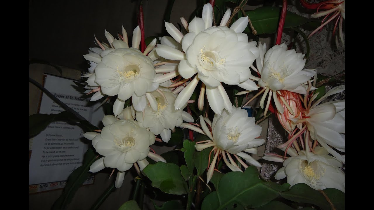 The EPI Flower - Epiphyllum Plants : Queen of the Night ...