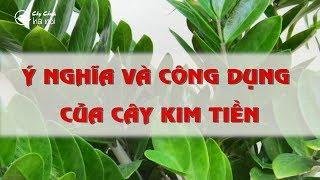 Ý nghĩa và công dụng của cây Kim tiền