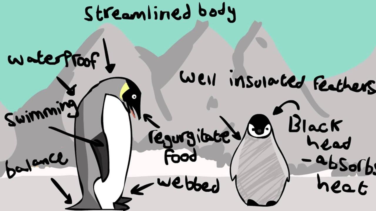 Biology school project- Penguins adaptations w/ Morgan ...