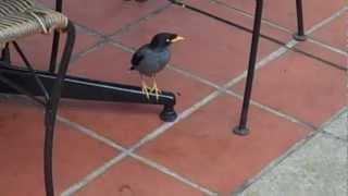 Myna Birds in Singapore