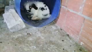 Yeni tavşanın   hollanda lop tavşanı