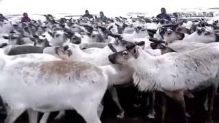 Вот они какие - Северные олени (загон) - Reindeer (pen)