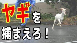 台風の中、逃走したヤギを捕まえろ!