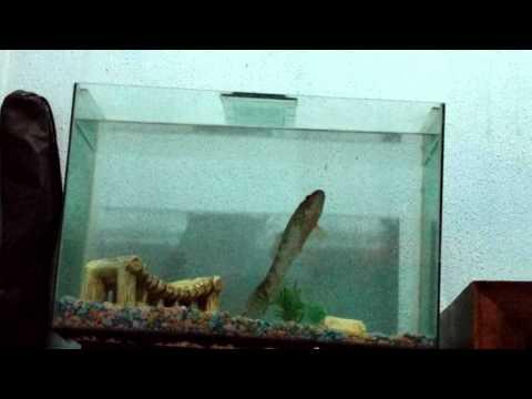 Traíra no aquário, hora do almoço