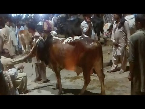 Bail And Bakra Market Live Sale And Bought/live World