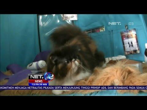 Ratusan Penggemar Kucing Mengikuti Cat Show Di Kota Batu Jawa Timur - NET 12