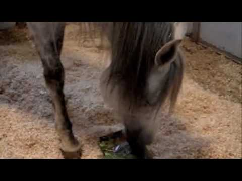 Arabian Stallion Speaks, RajaliKa the Talking Horse