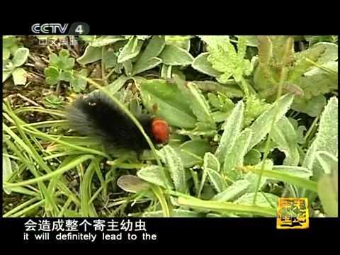 走遍中国 神奇的冬虫夏草 走遍中国 20110425