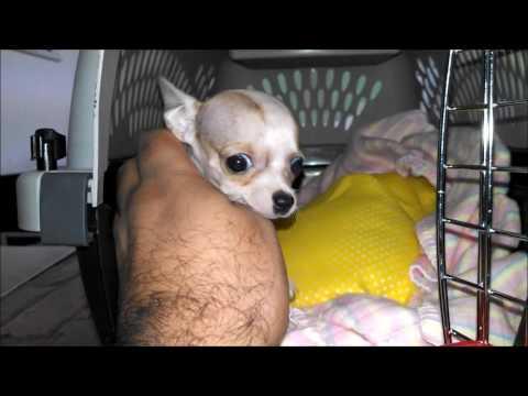 Envio a la CDMX de un chihuahua de bolsillo cabeza de manzana - Envios Seguros & Garantizados !из YouTube · Длительность: 49 с  · Просмотров: 200 · отправлено: 17.12.2016 · кем отправлено: Chihuahuas de Bolsillo