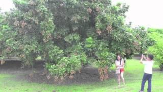 Vườn Trái Cây Người Việt Tại Miami, Florida