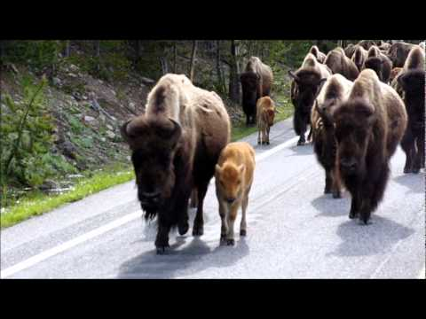 Yellowstone National Park -  Bison Parade at Madison River Jun 2011