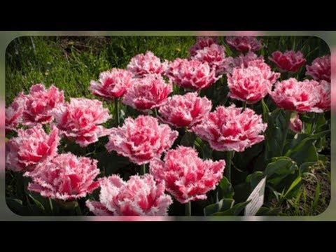 Махровые тюльпаны. Особенности их выращивания