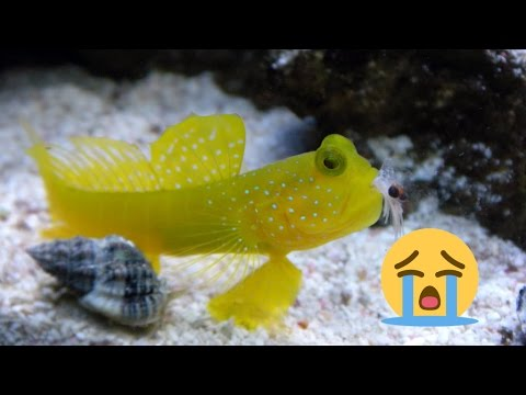 Neon Dottyback KILLED My Watchman Goby! Do Research Before Buying Fish!