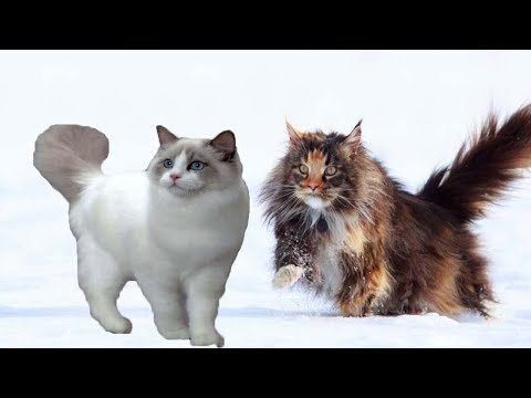 Maine Coon vs Ragdoll cat | cat breed comparison 2018