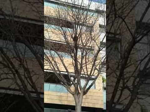 Vídeo de un enjambre de abejas en la calle Pintora María Blanchard