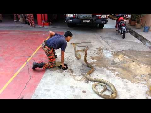Show king cobra with fireman