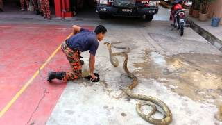 Show king cobra with fireman