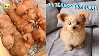 OUR DOG´S PUPPYHOOD: A Spitzpoo Puppy Grows Up