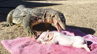 PIG IS DINNER for KOMODO DRAGON-sized Lizard