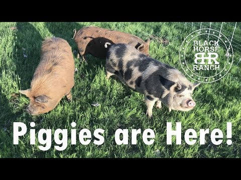 Our Kune Kune Pigs have Arrived!