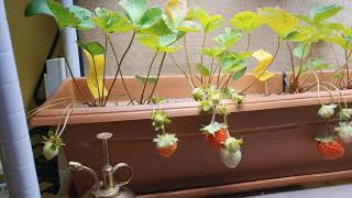 Solar Powered Indoor Vertical Veganic Quinalt Strawberries