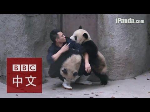 给熊猫喂药?难于上青天!