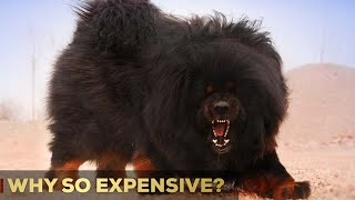 Why Are Tibetan Mastiffs So Expensive? | 5 Reasons | So Expensive.