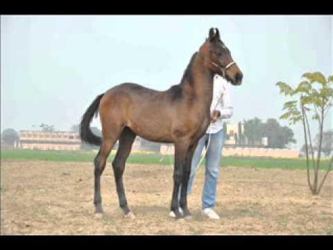 Black Marwari Horse - YouTube