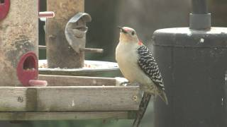 Red Bellied Woodpecker Eating, Your Cat Will Enjoy This!
