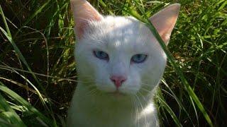 Кот с голубыми глазами.В гостях у белого кота Соломона с голубыми глазами