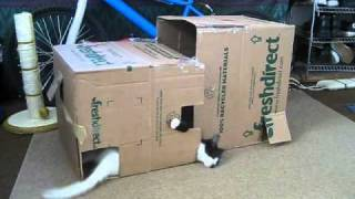 Cute Kittens With Cerebellar Hypoplasia (ch) Play In Diy Kitten Playhouse