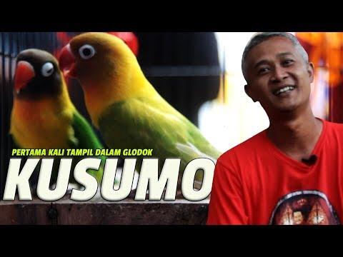 KUSUMO CUP : Pertama Kali Tampil Lovebird KUSUMO Setelah Di Kandang Breeding