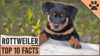 Rottweiler Dog Breed  Top 10 Facts | Dog World