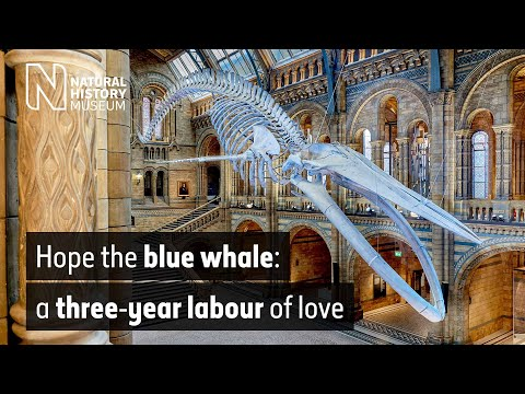 The blue whale: a three-year labour of love | Natural History Museum
