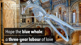 The blue whale: a three-year labour of love   Natural History Museum