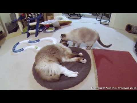 "Ragdoll Cats ""She Loves Me, She Loves Me Not"" - PoathTV Funny Cat Video - PoathCats"