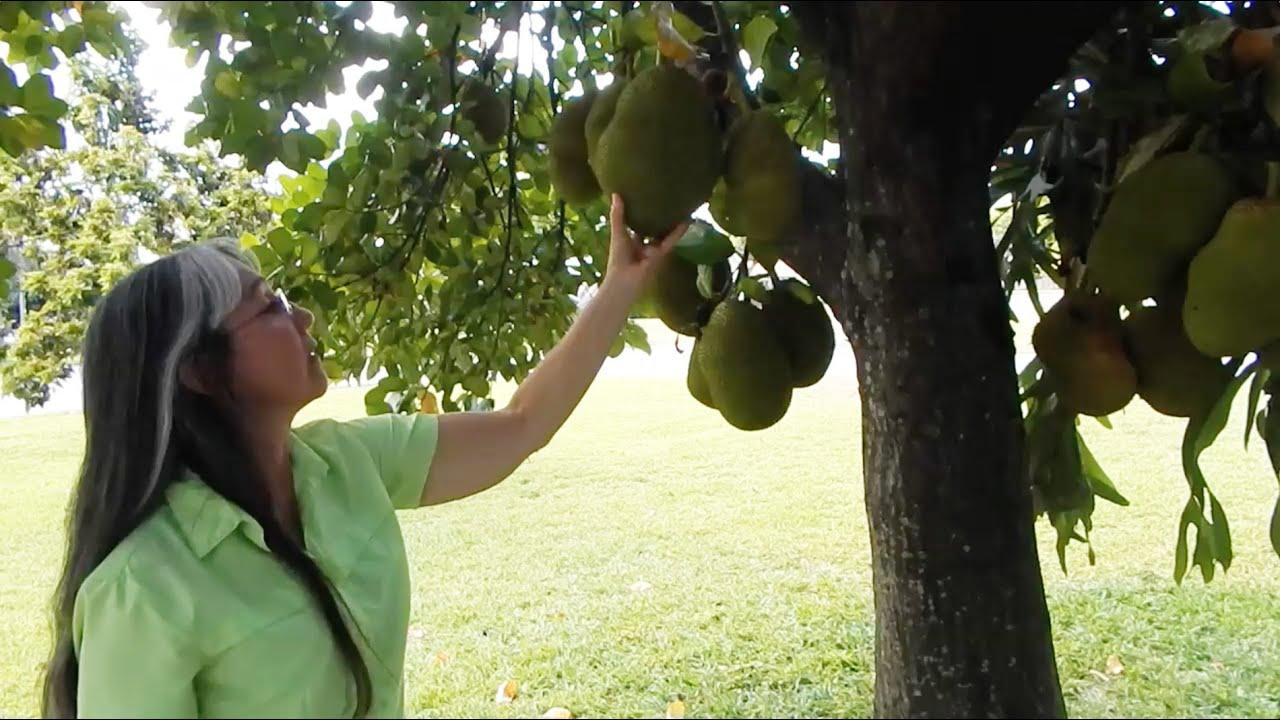 Sarah S Front Yard Jackfruit Tree In South Florida Youtube