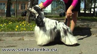 American Cocker Spaniel -  Danillo Snehulienka